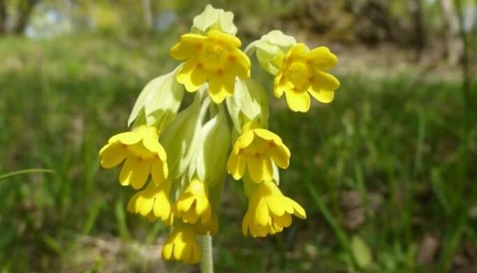 Marianøkleblom, et tydelig tegn på våren.