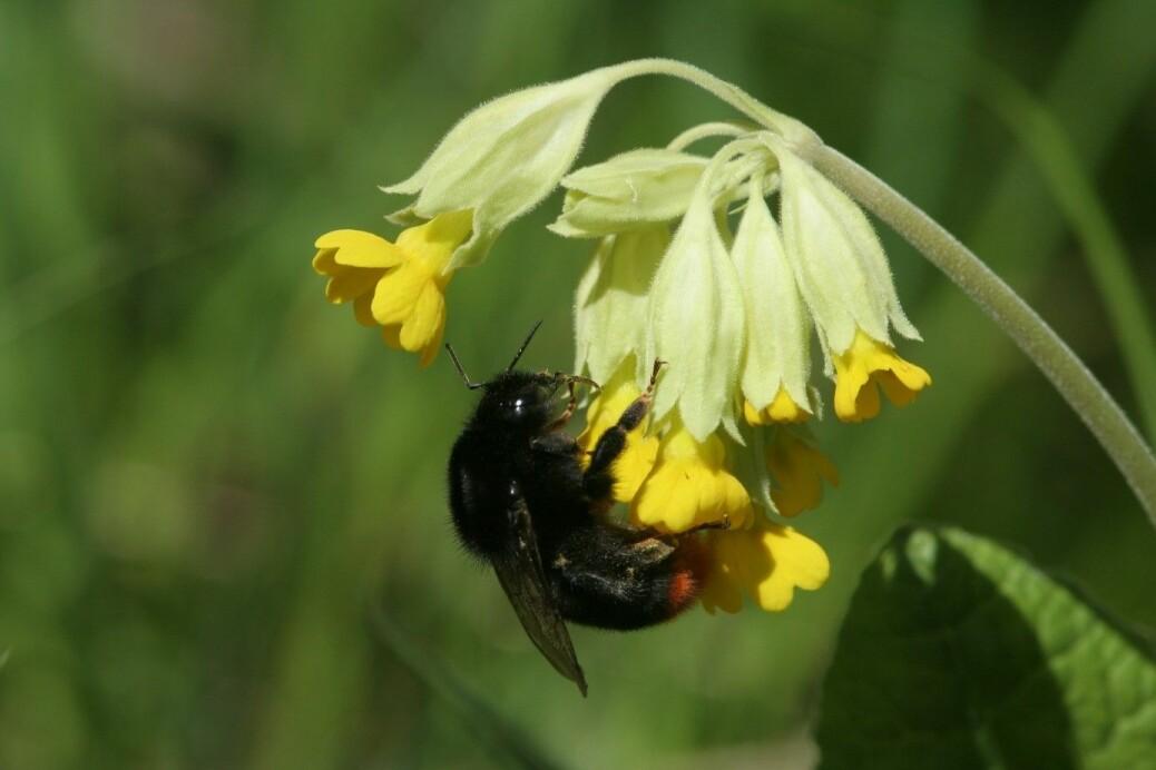 Marianøkleblom er en viktig næringskilde til insekter på våren.
