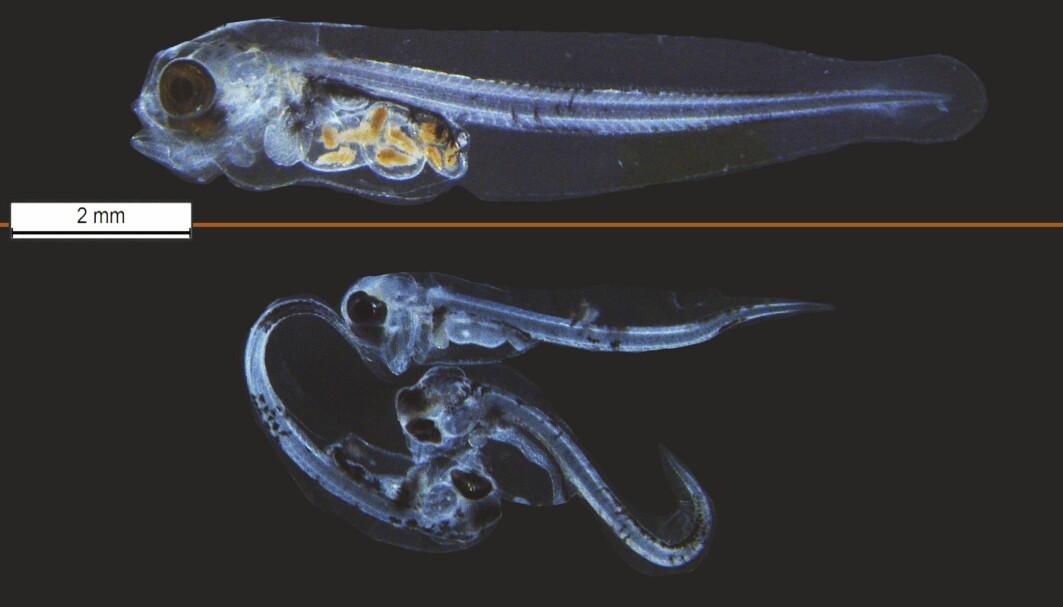 Det øverste bildet viser en frisk fisk mens bildet under viser yngel som er utsatt for oljesøl. De nederste fiskene har misdannelser og mangler mat i magesekken..