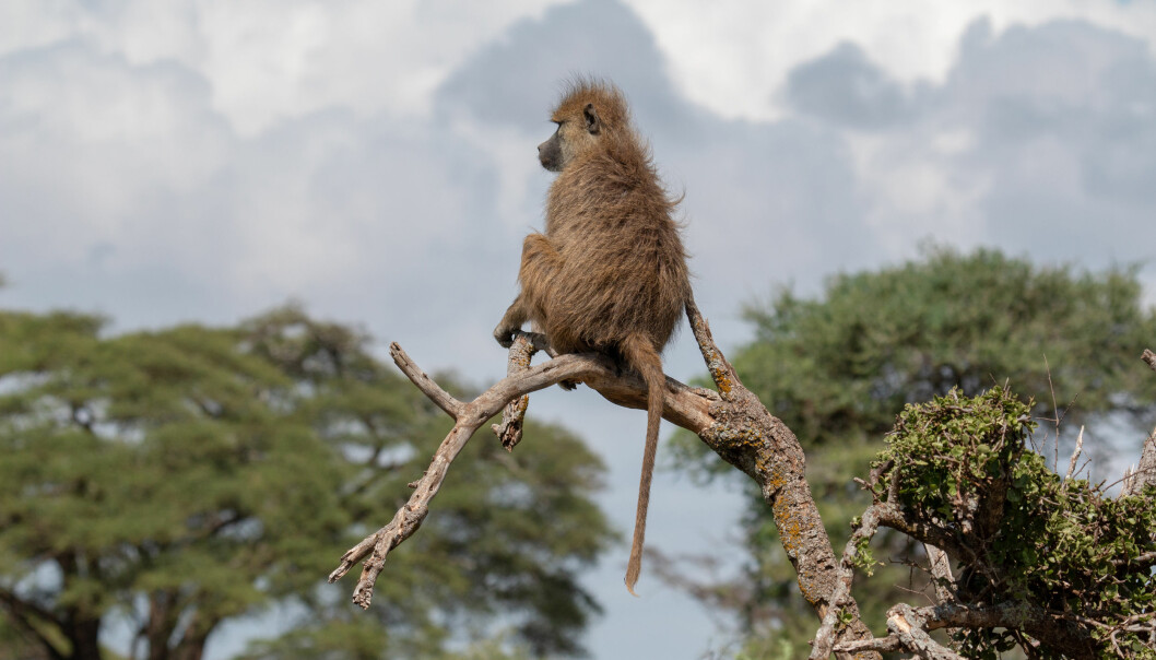 En bavian kikker utover landskapet i Amboseli i Kenya.