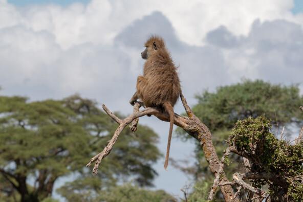 Slik påvirker stress ville bavianer