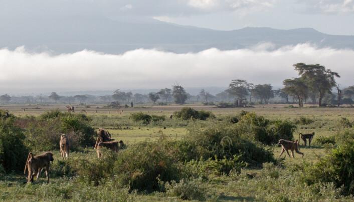 En familiegruppe med bavianer i Amboseli i Kenya.