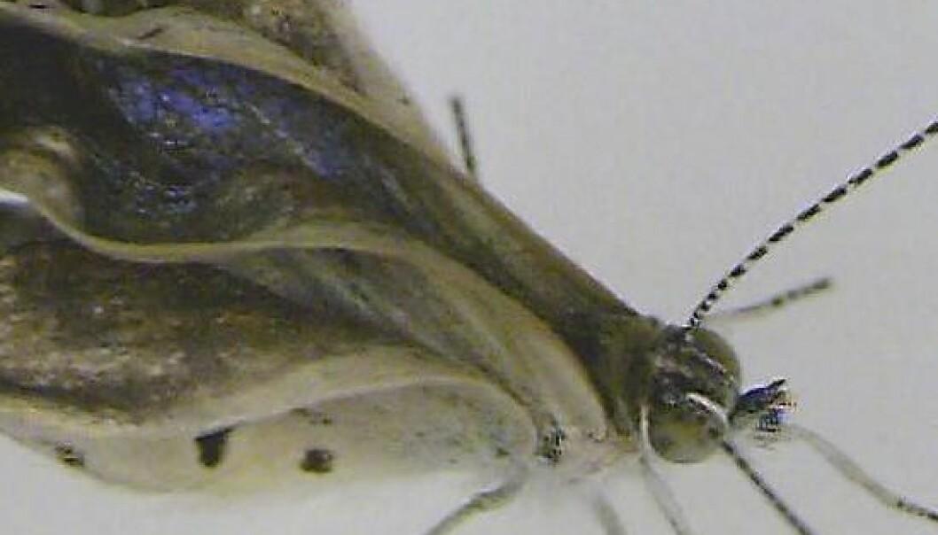 Radioaktivitet har forårsaka mutante Fukushima-sommerfugler