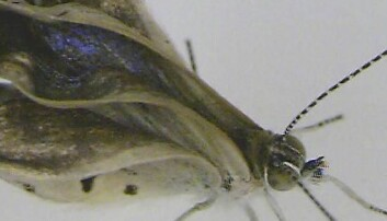 Her ser vi et eksemplar av japansk blåvingesommerfugl-arten som har skader på føtter, øyer og vinger. JOJI OTAKI