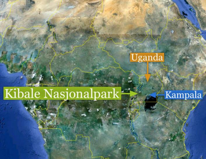 Studien er gjennomført i Kibale National Park i Uganda i Øst-Afrika, der den eneste større gjenværende bestanden av den truede apen holder til. (Foto: (Kart: Google Maps/tilpasset forskning.no/Per Byhring))