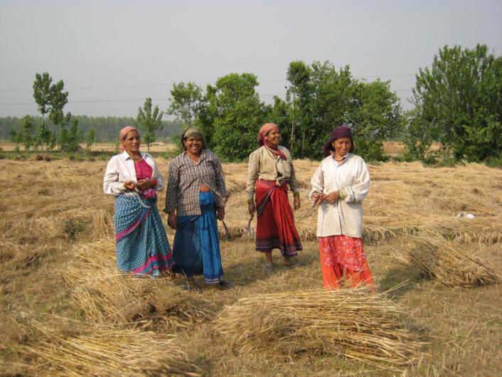 Kvinner høster økologisk dyrket korn i Ganeshpur i den indiske delstaten Uttarakhand. Ny avhandling viser at bønder i India som velger økologisk drift kan få større økonomisk sikkerhet. (Foto: Anna Marie Nicolaysen)
