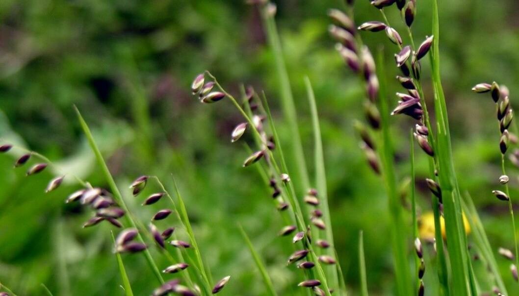 Hengeaks - gresset som nikker
