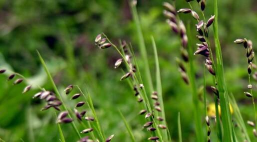 Ukas art: Hengeaks - gresset som nikker