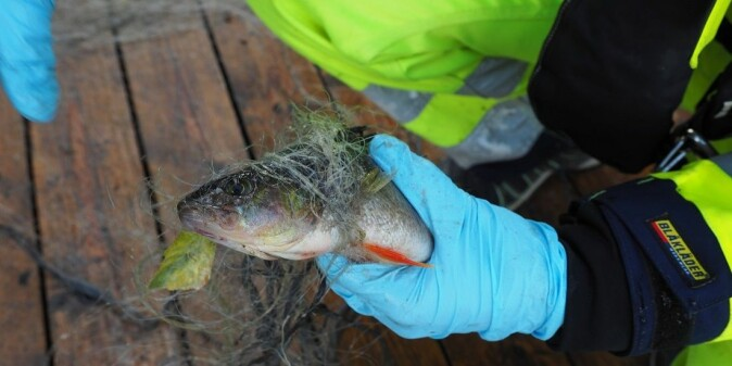 Toxic substances like PFAS can accumulate in fish. This photo is from sampling done in Lake Tyrifjord, where health authorities warn against eating the fish.