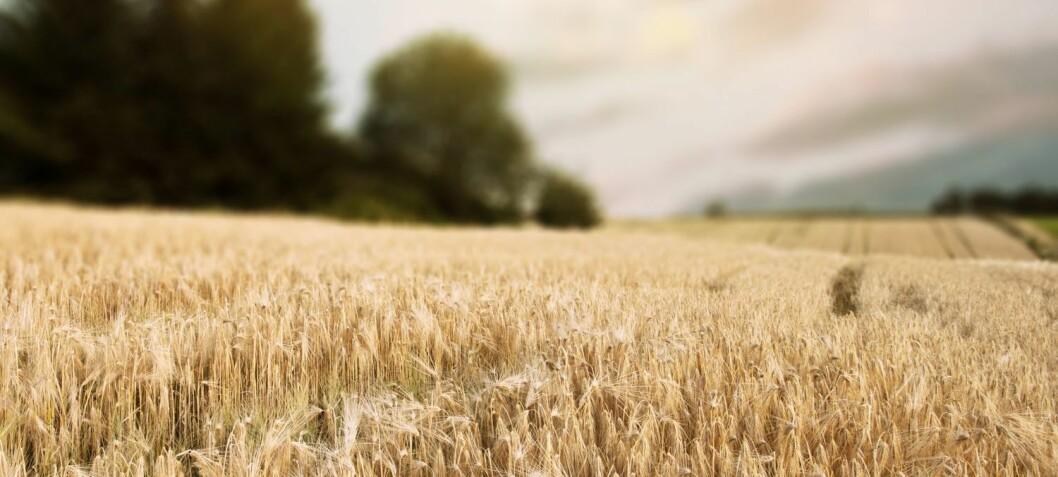 Bakterier som spiser lystgass, kan kutte klimautslipp fra landbruket