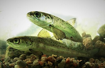 How we can help salmon and sea trout past river power plants