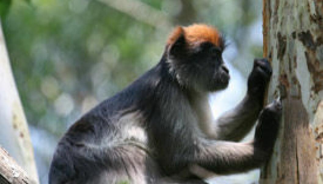 Ape i tre, P. rufomitratus. Julie Kearney Wasserman