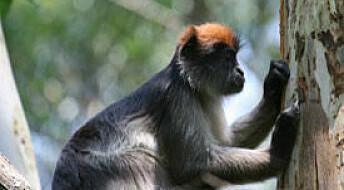 Aper går bananas på østrogen-blader