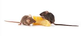 Har funne bakterie som kan virke mot fedme hos mus