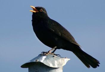 Svarttrost, ein av dei undersøkte artane i studien. (Foto: Malene Thyssen/Wikimedia Commons)