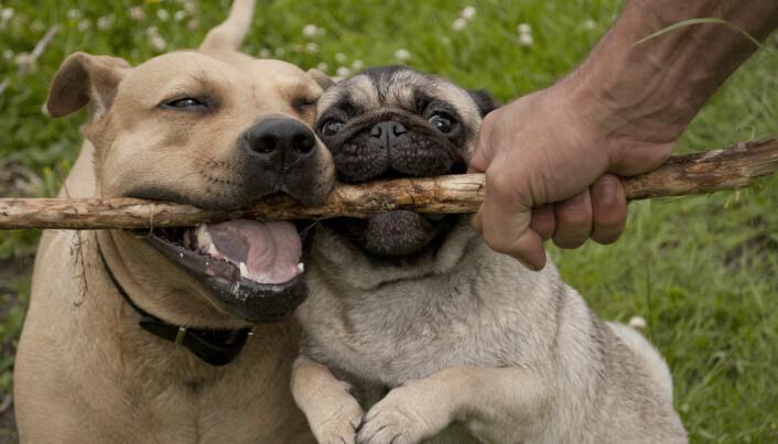 Hunder kan prøve å trenge seg i mellom eieren og en rival, ifølge en tidligere studie av sjalusi blant hunder.