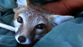 Dyrenes personlighet må med i betraktningen når man arbeider med truede dyrearter. Christina Hansen
