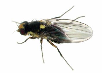 Søramerikansk minérflue (Liriomyza huidobrensis) er et eksempel på en dørstokkart som er introdusert til drivhus som blindpassasjer på europeiske planter, men som ennå ikke har klart å etablere seg i norsk natur på grunn av lave vintertemperaturer. Kategori: ingen kjent risiko. (Foto: Erling Fløistad)