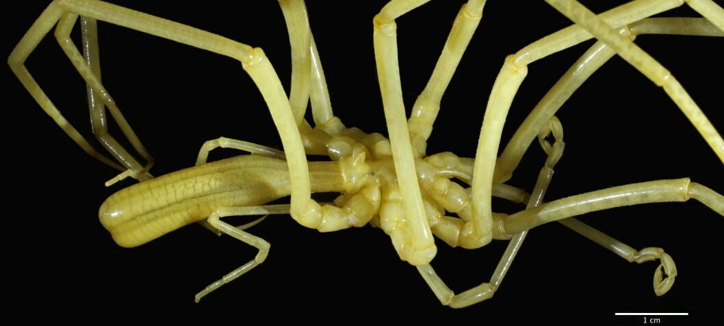 Forsker: – Sjøpølse og havedderkopp er naturens kunstverk