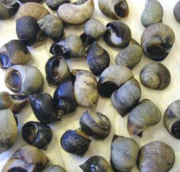 Hunner av strandsnegl og andre sneglearter utvikler hannlige kjønnskarakterer selv ved svært lave konsentrasjoner av tinnholdige stoffer fra skipsmaling. (Foto: NIVA)