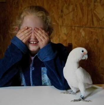I noen oppgaver er kakaduen mye bedre enn fireåringen, men den som barn synes er lettest, er den som kakaduene synes var vanskeligst. (Foto: Alice Auersperg)