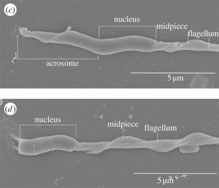Frisk svarttrostsperm (øverst) samanlikna med skada svarttrostsperm frå Tsjernobyl. Akrosomet på den nederste prøven er heilt borte. (Foto: NHM/Biology Letters)