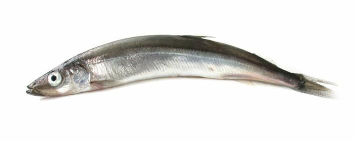 Lodda er en nøkkelart i økosystemet i Barentshavet. (Foto: Havforskningsinstituttet)