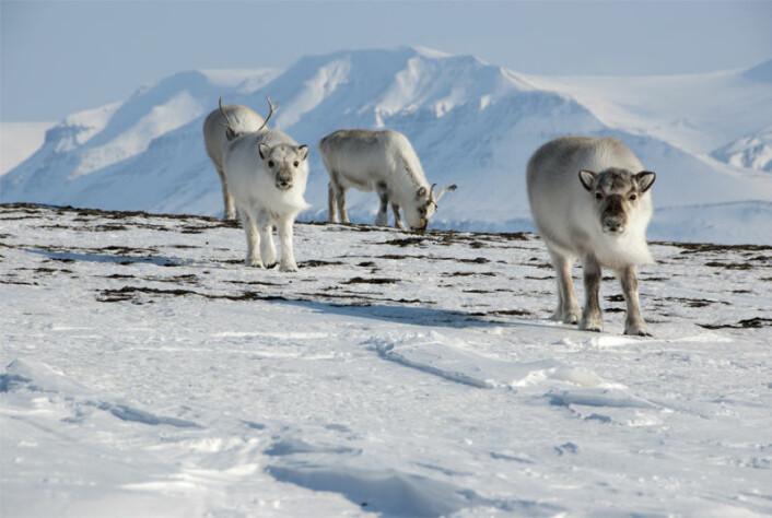 På Svalbard er reinsdyrene en sentral nøkkelart for økosystemet, men den er også en viktig jaktbar ressurs for jegerne. (Foto: Silje-Kristin Jensen / Norsk Polarinstitutt)