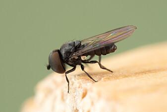 Denne øyefluen har trolig overvintret i insekthotellet.