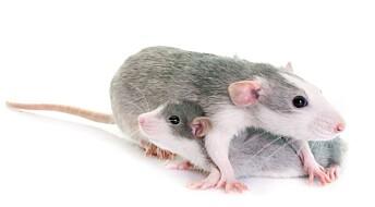 Rottestudie viser hvordan C-vitamin kan hjelpe fosteret mot skader fra oksygenmangel