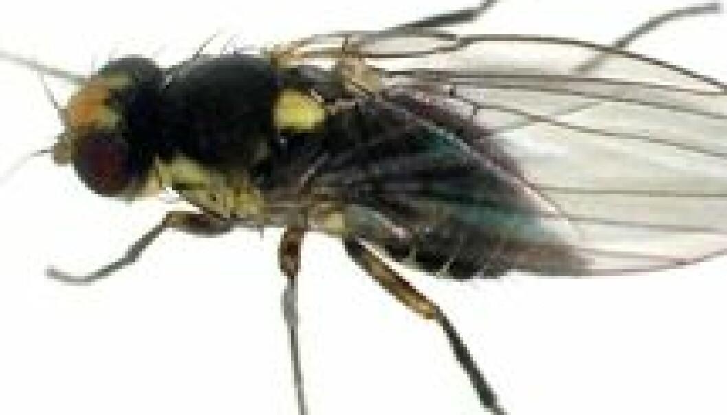 Søramerikansk minérflue (Liriomyza huidobrensis) er et eksempel på en dørstokkart som er introdusert til drivhus som blindpassasjer på europeiske planter, men som ennå ikke har klart å etablere seg i norsk natur på grunn av lave vintertemperaturer. Kategori: ingen kjent risiko. Erling Fløistad