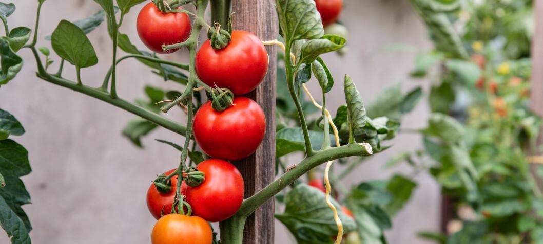 Det er lurt å tisse på tomatplantene