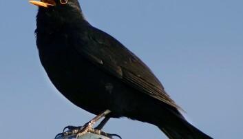 Tsjernobyl-fuglar kan løysa spermgåte