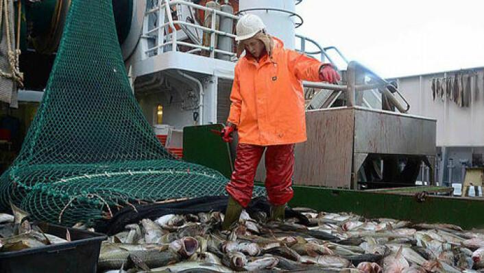 Torsken i Barentshavet følger lodda. Bildet viser tråldekket fullt av torsk under fjorårets norsk-russiske forskningstokt. (Foto: Havforskningsinstituttet)