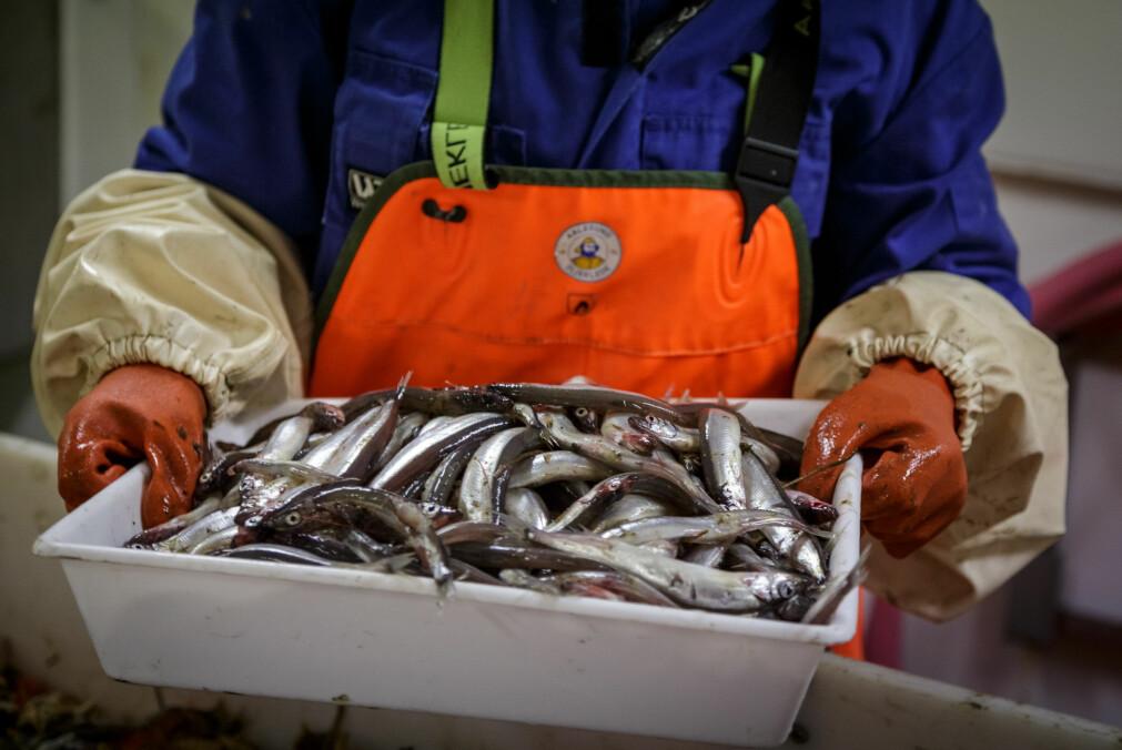 Voksen lodde fra bunntrålen under økosystemtoktet i Barentshavet i 2018.