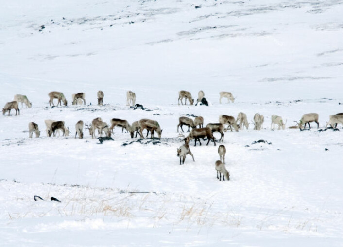 Reinsdyr beiter i Finnmark. (Foto: iStockphoto)