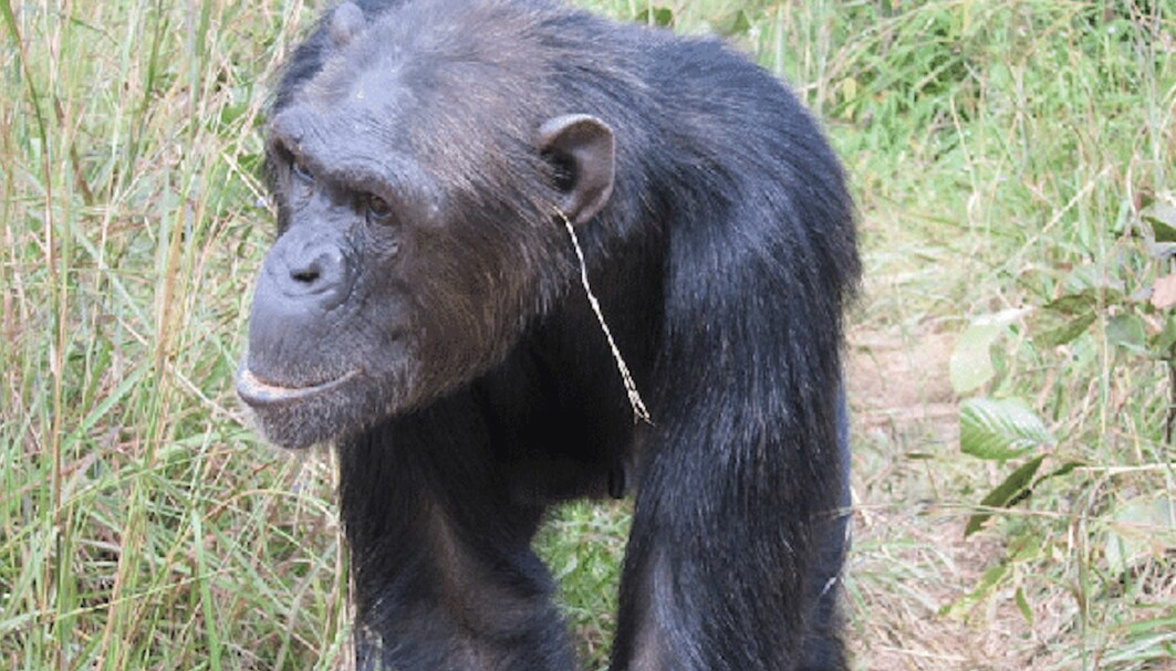 Da Julie puttet et gresstrå i øret, syntes kanskje de andre sjimpansene i flokken hennes at det så bra ut. Da ville de være like kule som henne, tror forskerne.
