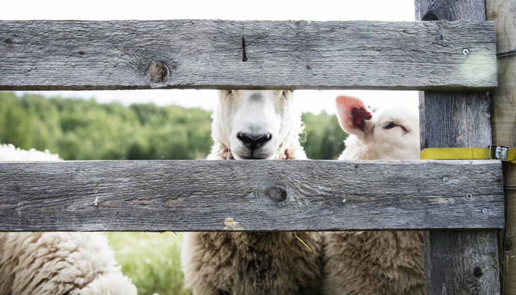 Norge består av 95 prosent utmark og ca halvparten av dette arealet kan utnyttes til mat for beitedyr i sommerhalvåret. Vi har mulighet til å doble produksjonen på utmarksbeite dersom vi bestemmer oss for å satse på dyr som omformer gras til menneskemat. I stedet skjer motsatt utvikling. Produksjonen av rødt kjøtt er på rekordlavt nivå siden 2015, sauebrukene legges ned, utmarka gror igjen, og aldri før har vi produsert og spist mer kylling. Er dette en bærekraftig utvikling?
