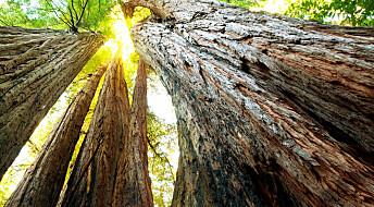 Gamle trær faller fra