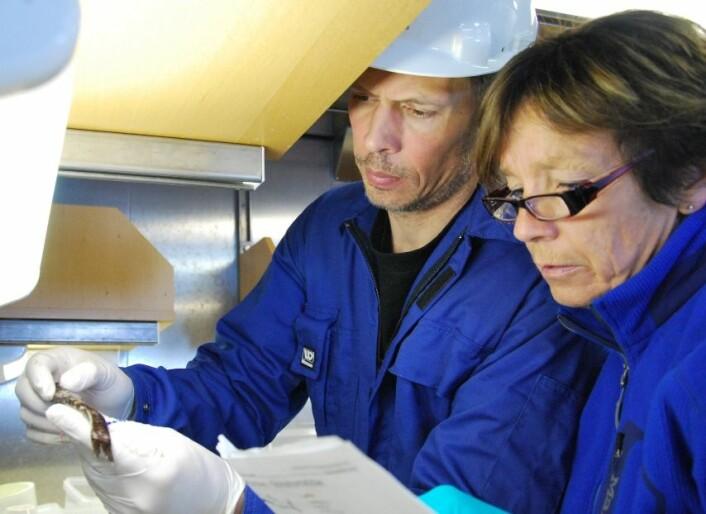 Med skjemategninger av fisk forsøker Geir Huse og Anne Liv Johnsen å bestemme hva det er som har gått i trålen. Det er ikke alltid så lett. (Foto: Hanne Østli Jakobsen)
