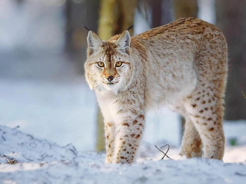 Gaupa er det eneste ville kattedyret i Norge. Arten er utbredt i skogstrakter over det meste av landet, men tettheten er størst på Østlandet og i Midt-Norge.