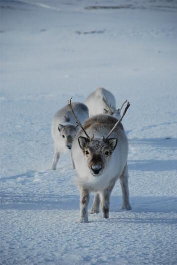 Forskerne bak studiet understreker at den samlede informasjonen fra jegerne, sammen med bestandstellinger i jaktområdene og den nasjonale bestandsovervåkingen, bidrar til en styrket overvåking og ivaretakelse av svalbardreinen. (Foto: Åshild Ønvik Pedersen / Norsk Polarinstitutt)