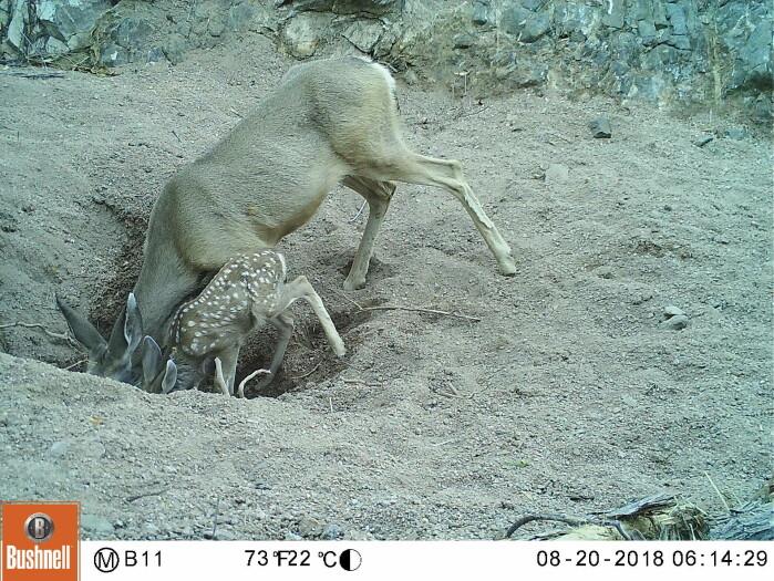 En hjort og kalv drikker fra et vannhull laget av esler.