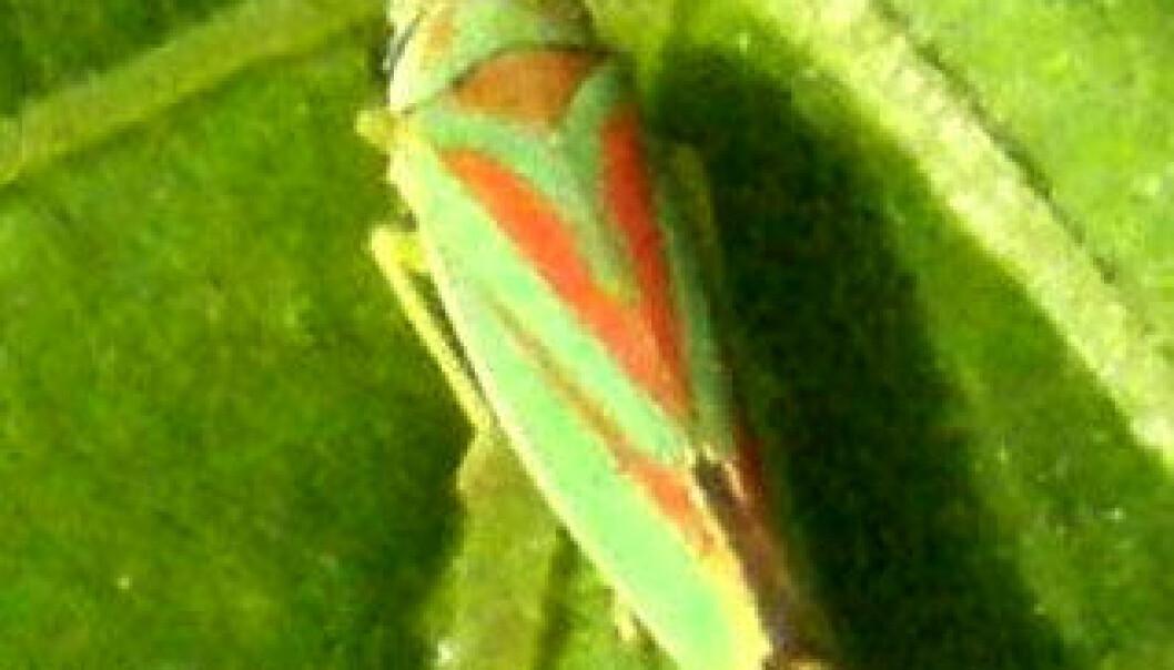 Allan Christiansen har fotografert disse flotte små insektene i sitt hage og har sendt bildene til oss. Allan Christiansen