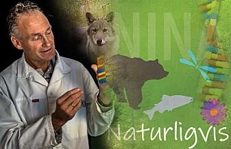 Forsker på ulv, men har aldri sett en i naturen