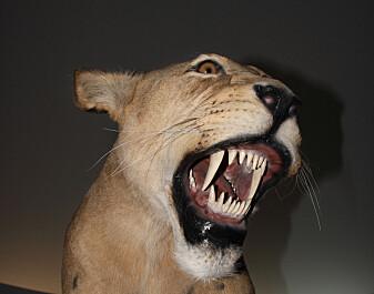 Forskere tror sabelkatter spiste mammut-unger