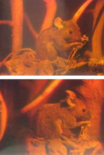 Hologram av mus, sett fra forskjellige vinkler. Bildet framkommer ved interferensmønstre med lyset som treffer hologrammet. (Foto: Georg-Johann Lay, Wikimedia Commons)