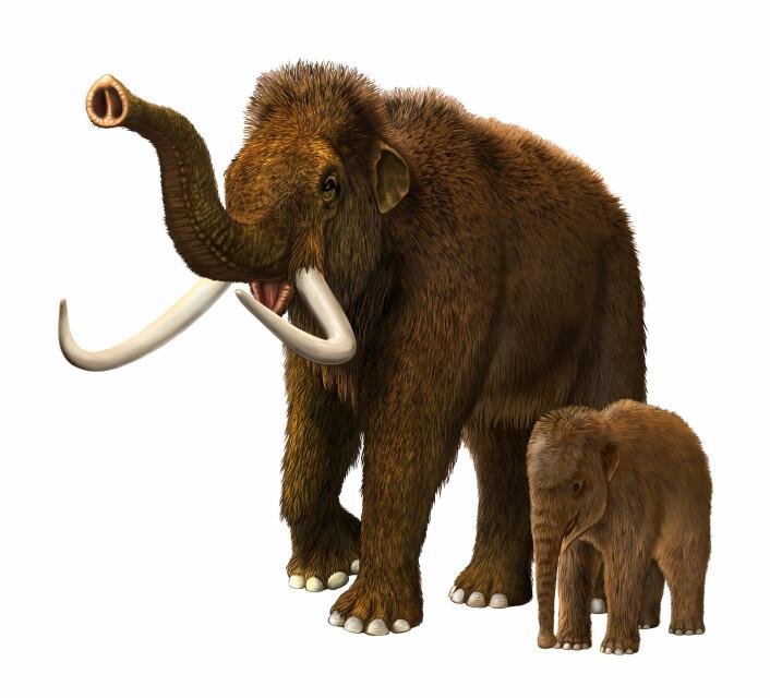Store, friske mammuter var for store som bytter for en ganske liten sabelkatt. Men en baby-mammut var mye mer forsvarsløs.