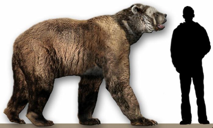 "<span class="" italic"" data-lab-italic_desktop=""italic"">Short-faced bear</span> sammenlignet med et menneske."