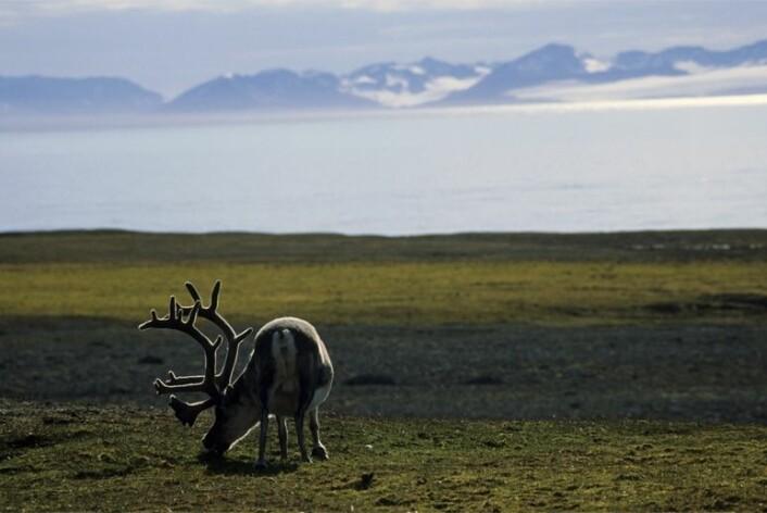 I følge klimarapportene forventes det i årene fremover varmere somre, mer mildvær og nedbør på vinterstid i Arktis, noe som også kan ramme reinsdyrene hardt. (Foto: Tor Ivan Karlsen / Norsk Polarinstitutt)